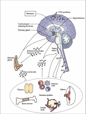 stress and the immune system Stress has an impact on our health through its effects on our immune system learn how our immune system is affected by stress, and what we can do to combat those effects stress, good and bad.
