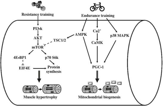 Mechanical-Metabolic-Stress-Response